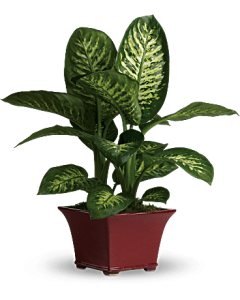 Potted Croton Plant