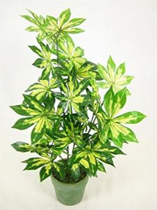 Potted-Fatsia-Japonica