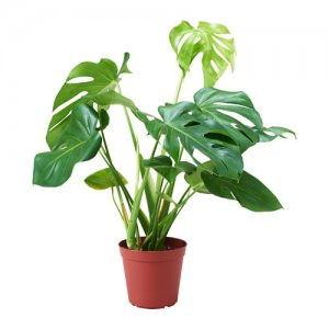 Potted Monstera Deliciosa Plant
