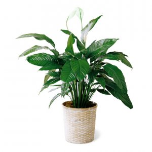 Peace-Lilly-Plant