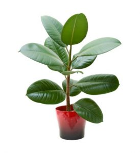 Potted-Rubber-Tree-Plant