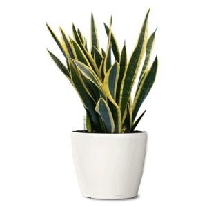 Indoor-Black-Snake-Plant
