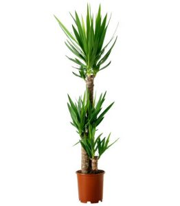 Yucca Plant Potted